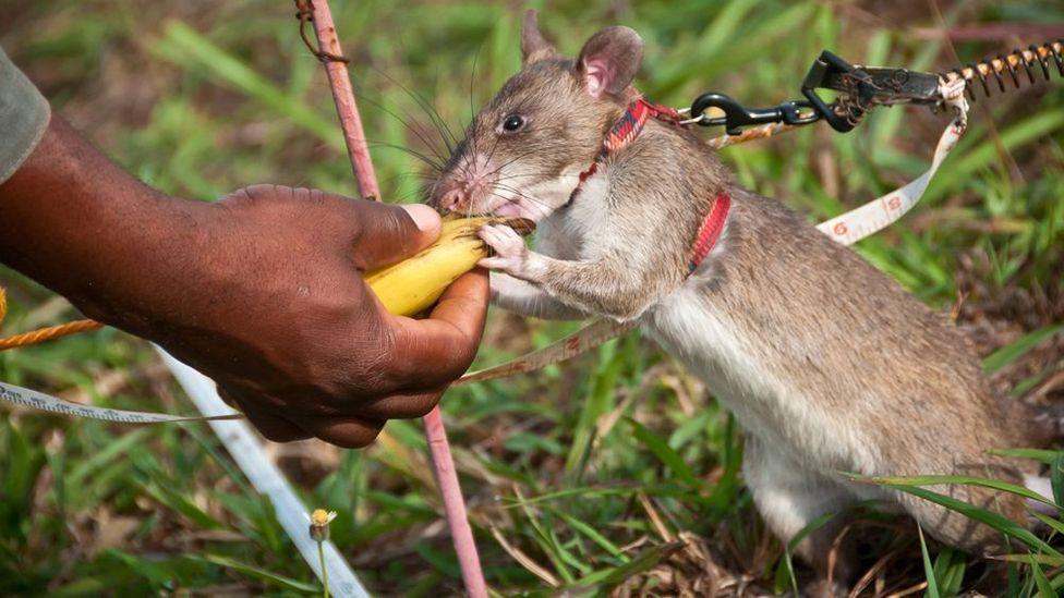 If they have correctly identified a mine, trainers use a device to make a clicking sound, which signals to the rat that they have earned a reward. (Copyright: Jonathan Kalan)
