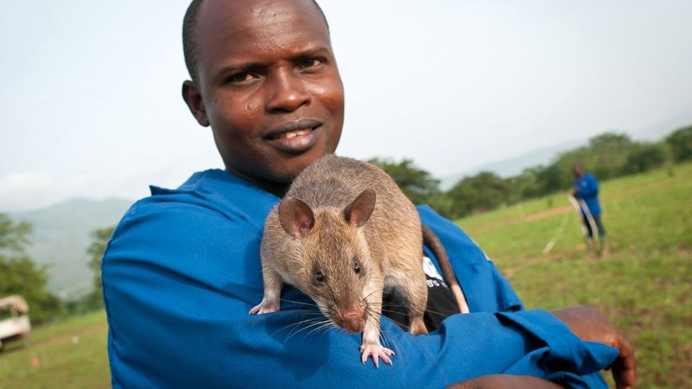 The rats – which are too light to detonate mines – can clear an area in one day that it would take a human deminer almost two weeks to make safe.  (Copyright: Jonathan Kalan)