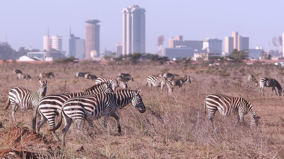 Nairobi is unique among cities in that it has a national park where wildlife roam freely against the urban backdrop of skyscrapers. (Copyright: Getty Images)