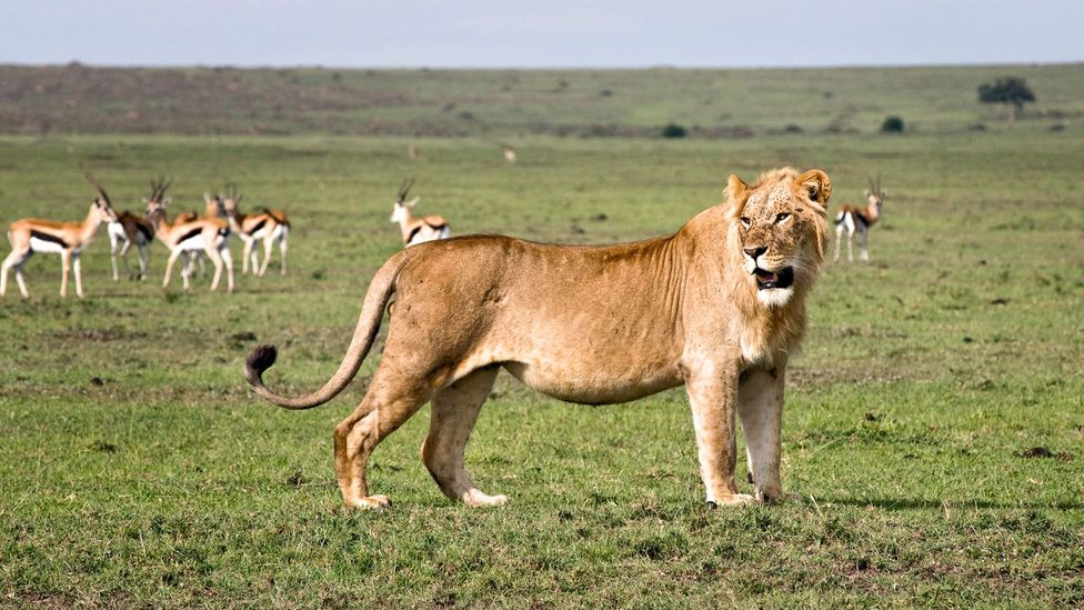 The park is secured by an electric fence on sides that border the city, but the open end allows lions to stray outside the park at night. (Copyright: Jonathan Kalan)