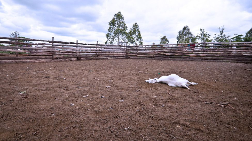 Residents will go to any lengths to protect their livestock from the threat, including poisoning or killing lions. (Copyright: Jonathan Kalan)