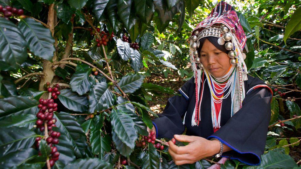 Akha Ama Coffee Journey Thailand