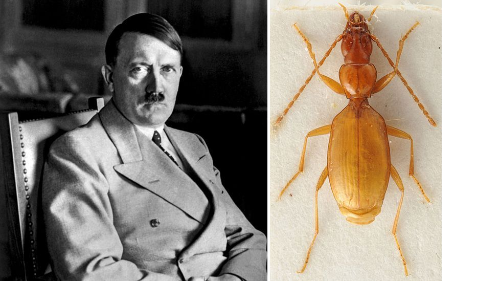 When German scientist Oscar Scheibel found a new species of blind Yugolavian cave beetle in 1936 he chose to name it after dictator Adolf Hitler. (Copyright: Getty/Michael Munich)