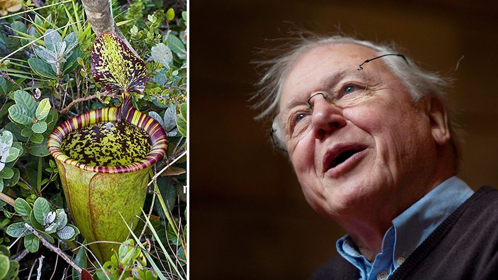 David Attenborough is the most famous living naturalist, and has several species named after him – such as this carnivorous pitcher plant. (Copyright:  Getty/Dr Alistair Robinson)