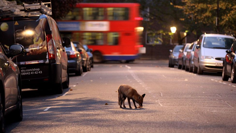 Many animals now depend on the man-made environment of cities, like foxes in Britain that scavenge our rubbish. (Copyright: Getty Images)