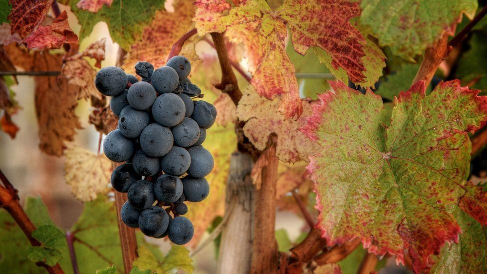 Vines of Mendoza (Michael Evans)