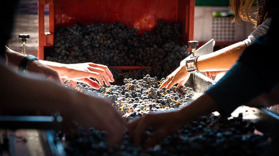 Co-op members often take part in the harvest and sorting of the 17 varietals grown at the vineyard. (Michael Evans)
