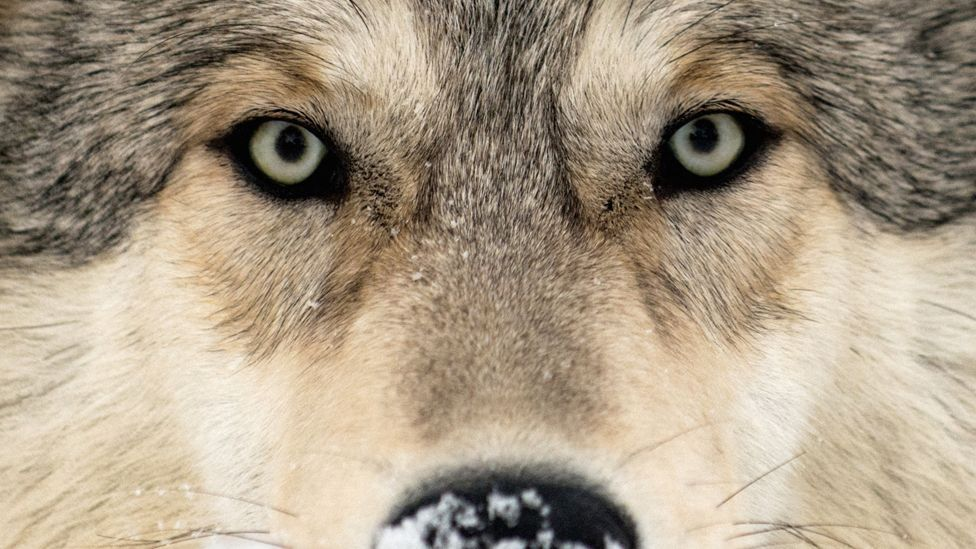 Wolf (Science Photo Library)