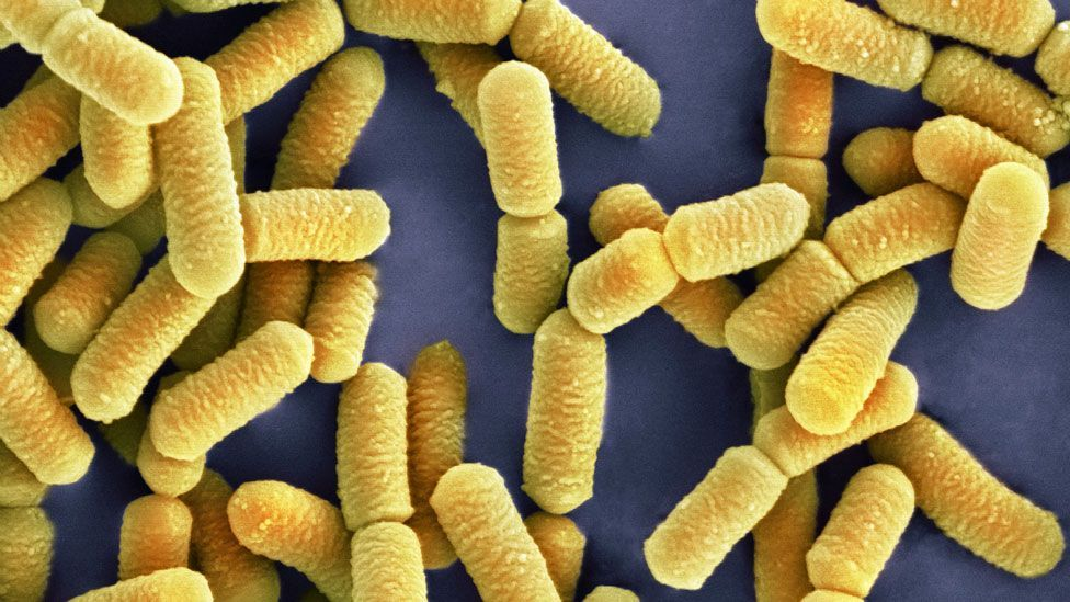 When this bacteria was fed to mice it reduced stress and anxiety (Science Photo Library)