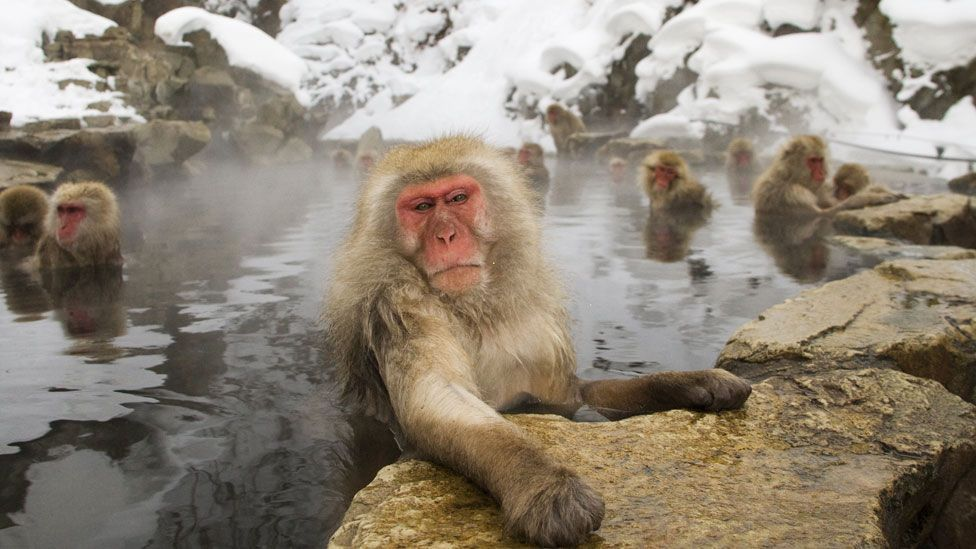 Some groups of japanese macaques can throw - but not all (Science Photo Library)