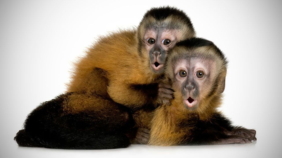 Capuchin monkeys have been observed caring for the young of other species (Thinkstock)