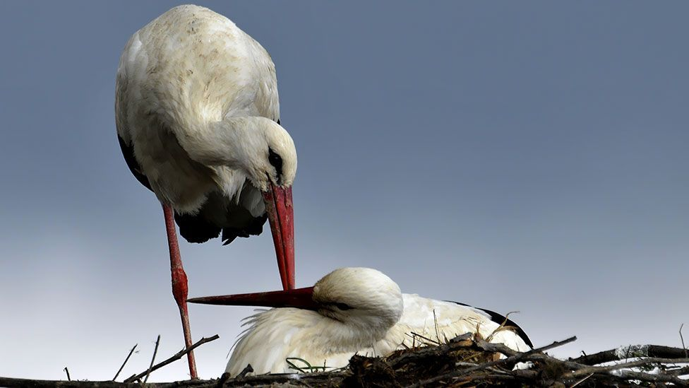 White storks allow baby intruders to share their nest and food - but why? (Thinkstock)