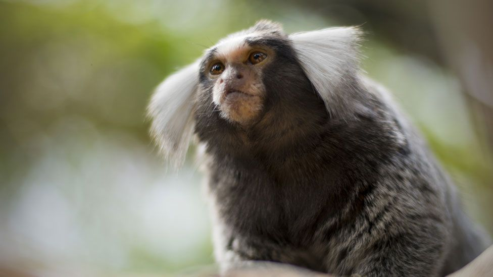 In one strange case, a marmoset (pictured) was adopted by much bigger capuchin monkeys (Thinkstock)