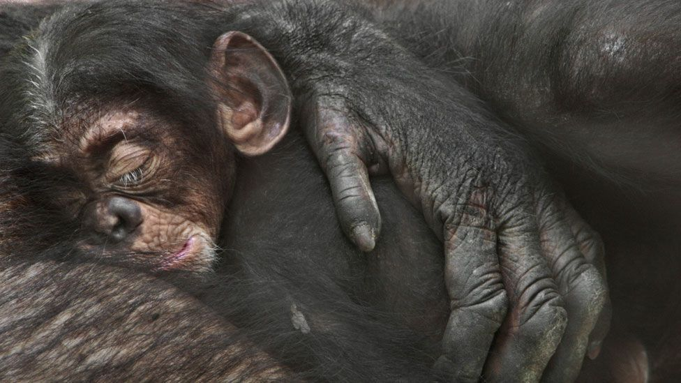 Goodall's work on chimpanzees changed our definitions of what makes humans unique (SPL)