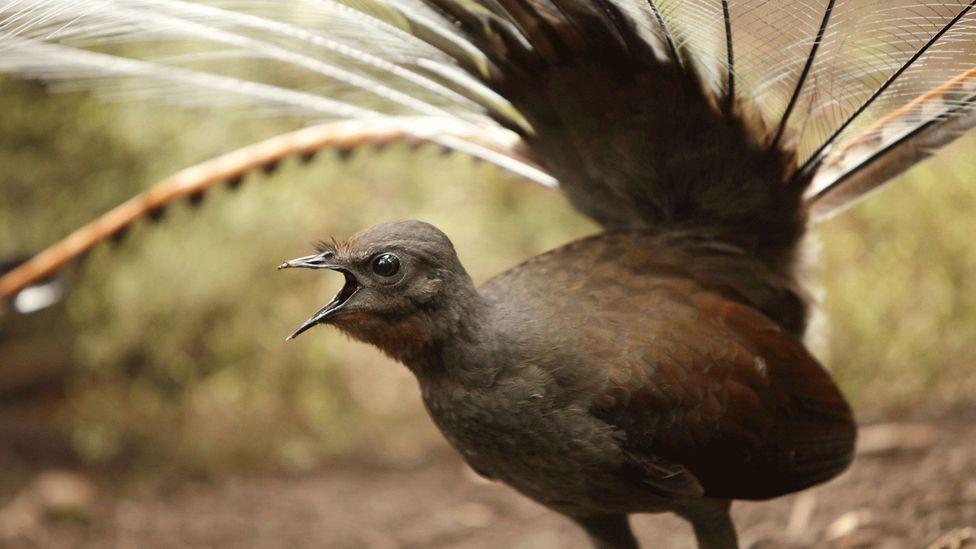 An Australian bird that mimics the sound of a chainsaw - BBC Travel