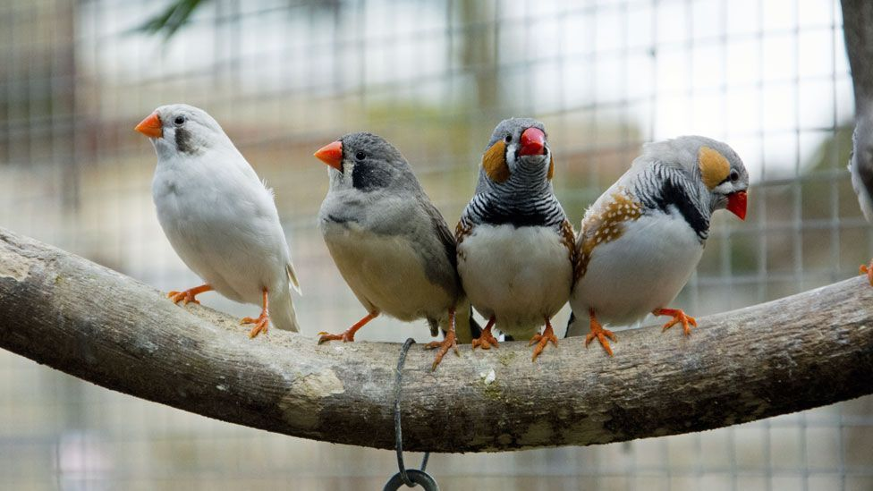 Zebra finches appear to practise their singing when they sleep (Thinkstock)