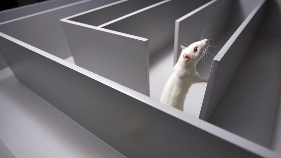 Researchers were able to reconstruct rats navigating a maze in their dreams (SPL)