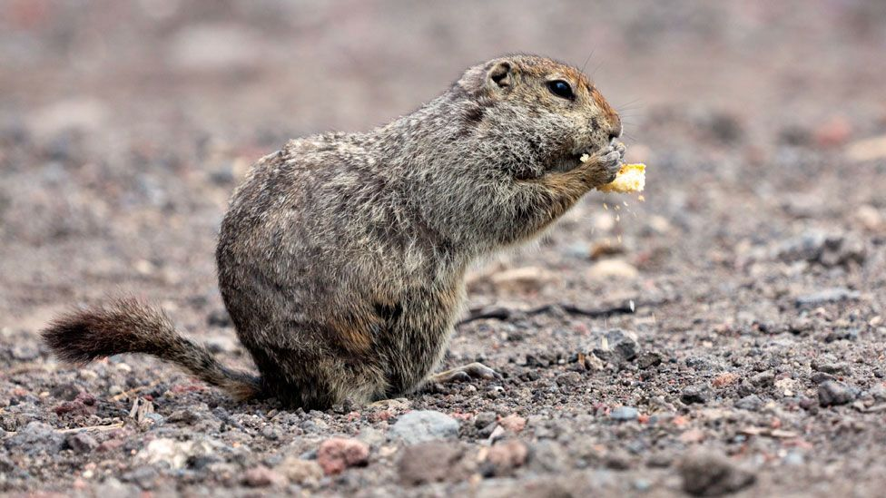 Arctic ground squirrels make sure their bodily fluids don't freeze solid during hibernation (Science Photo Library)