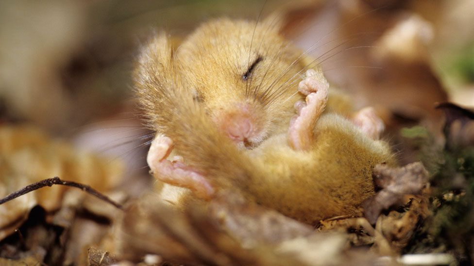 A dormouse in torpor. It will spend up to three quarters of its life asleep, hibernating (Science Photo Library)
