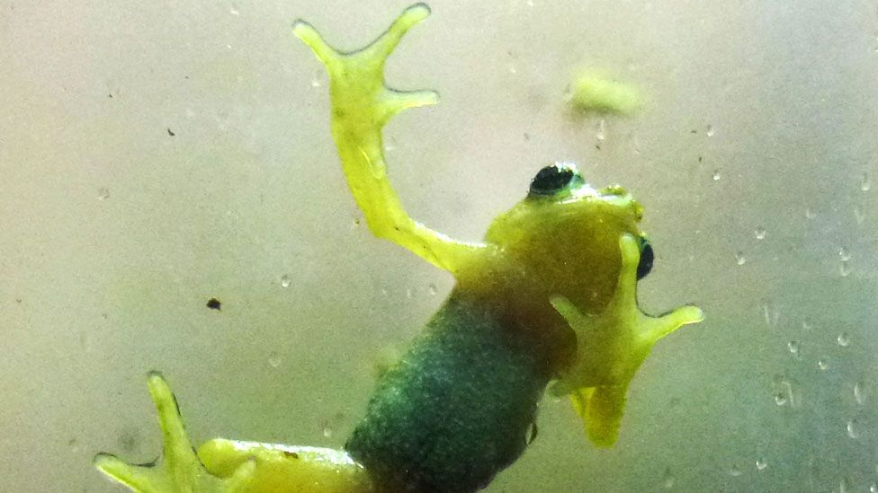 The Kihansi spray toad is so rare, it only exists in captivity (Getty Images)