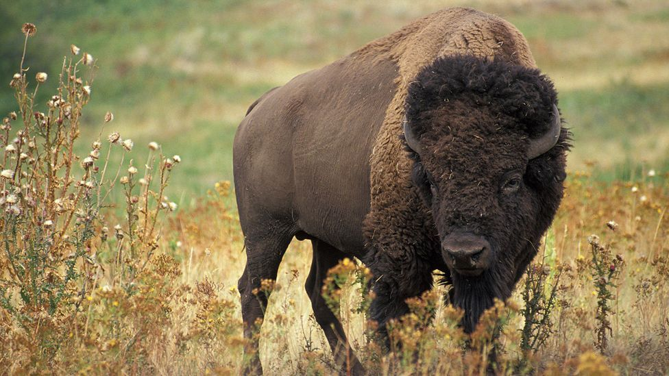 Bison once roamed the Great American Plains in their millions until herds were decimated by humans (US Agricultural Research)