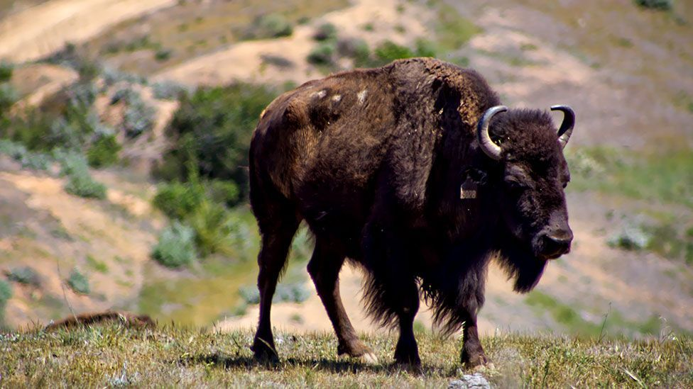 There were as many as 600 bison at one time; the herd has now been reduced to a more manageable 150 (Jason Goldman)