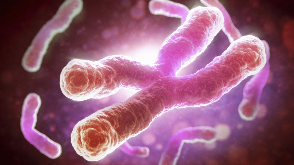 The telomeres that protect our chromosomes get progressively shorter as we age (SPL)