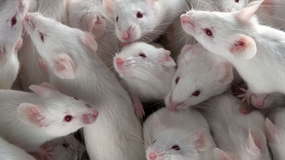 Mice on restricted diets live longer (SPL)