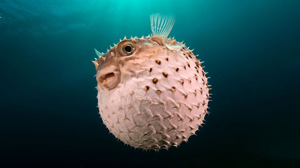 The pufferfish produces a toxin that is numbing if ingested in small amounts by dolphins, but also highly dangerous (Thinkstock)