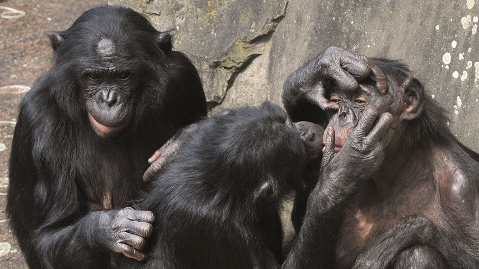 Researchers have been studying the wide and varied interactions that bonobos take part in for many years (Getty Images)