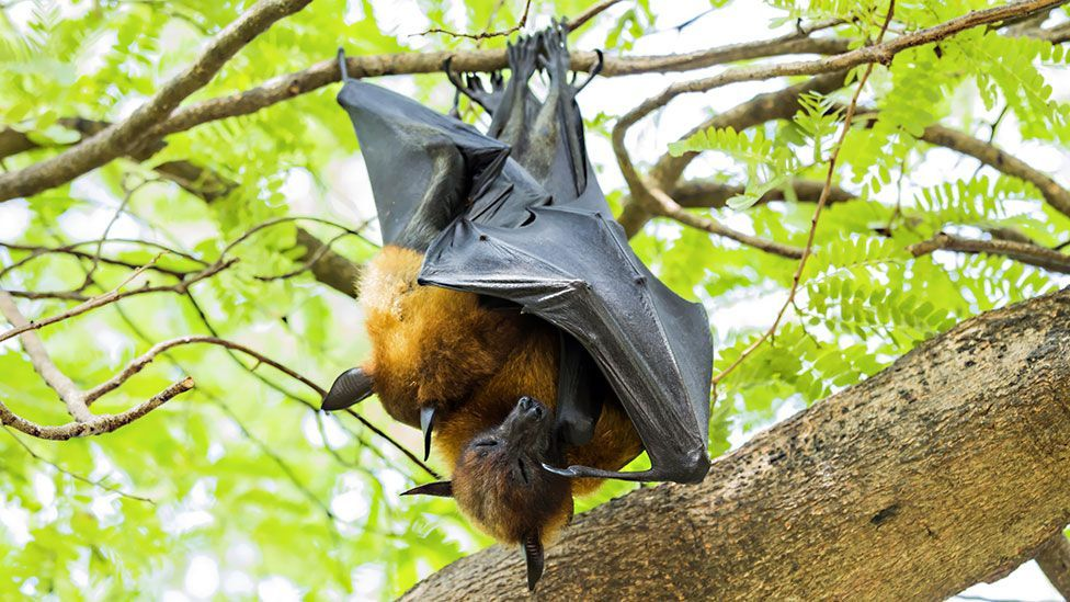 In short-nosed fruit bats, oral sex is thought to help increase the likelihood of fertilisation (Thinkstock)