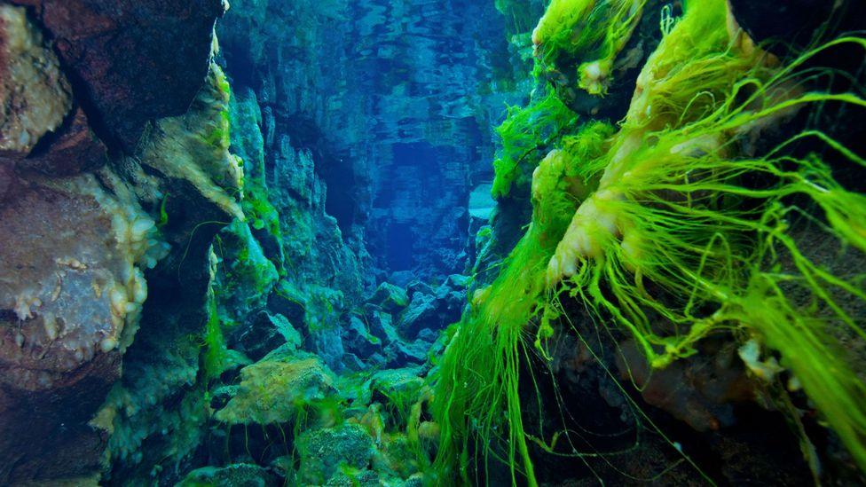 Silfra's fluorescent green algae. (Stocktrek Images/Getty)