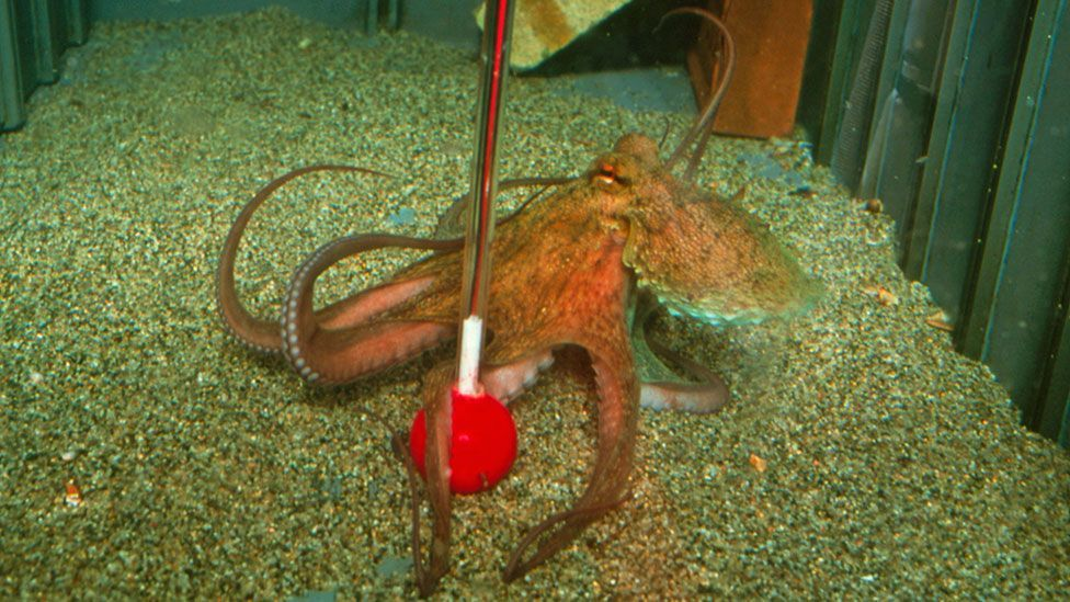 Tests have shown that octopuses have a good memory, can recognise colours and shapes, and can think through puzzles. (Getty Images)