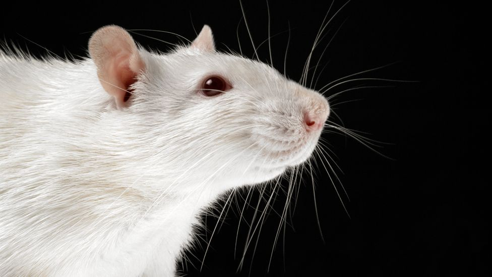 Experiments on rats found that the more stress they suffered, the shorter their lives (Science Photo Library)