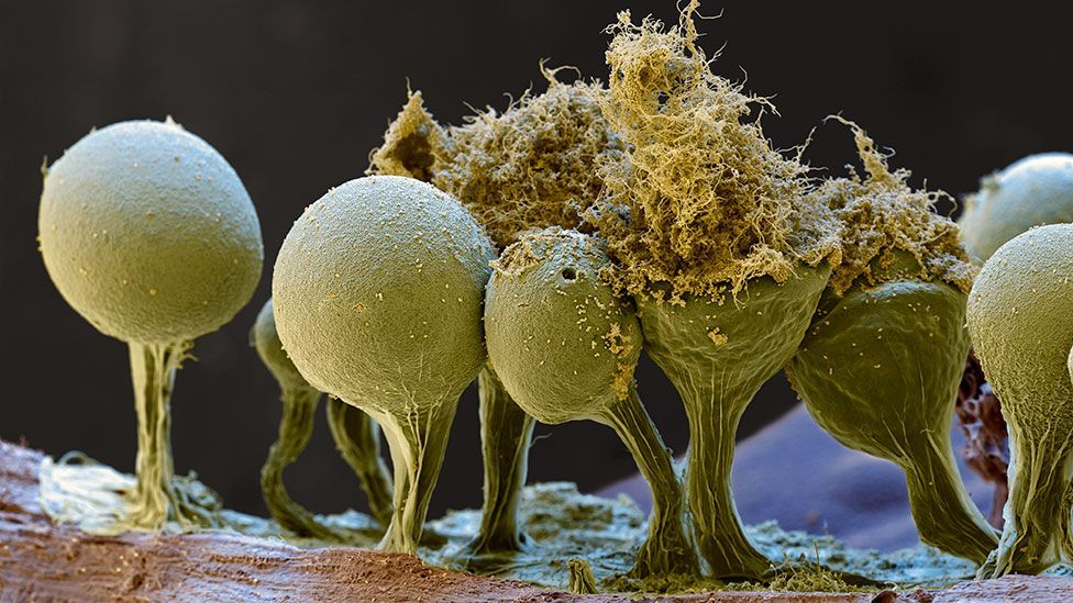 Do we behave like slime moulds, individuals coming together to have a much more powerful influence on the planet? (Science Photo Library)
