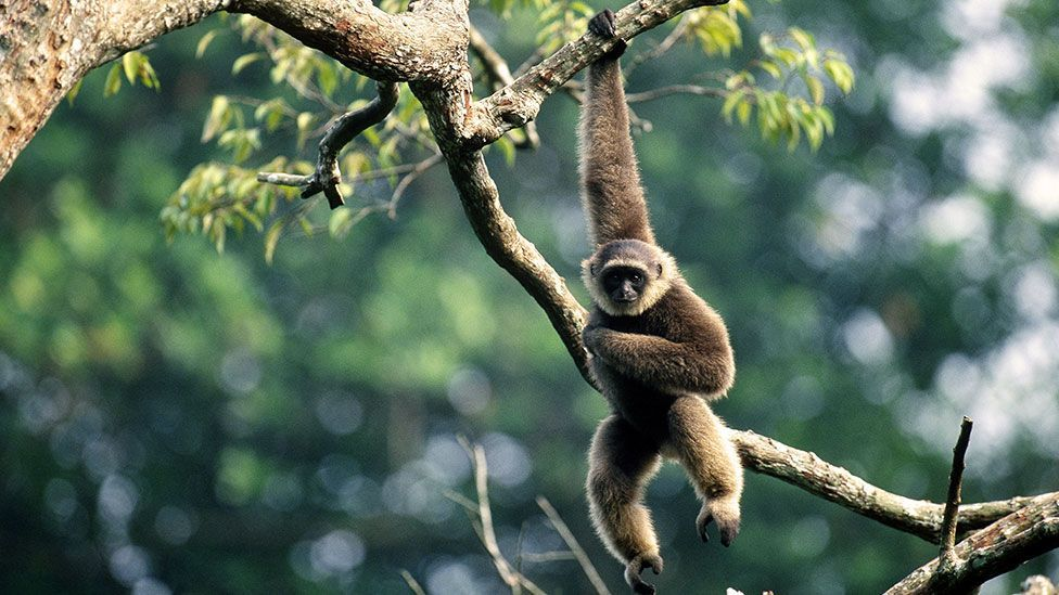 Our blood may have more in common with gibbons than you may think (Science Photo Library)
