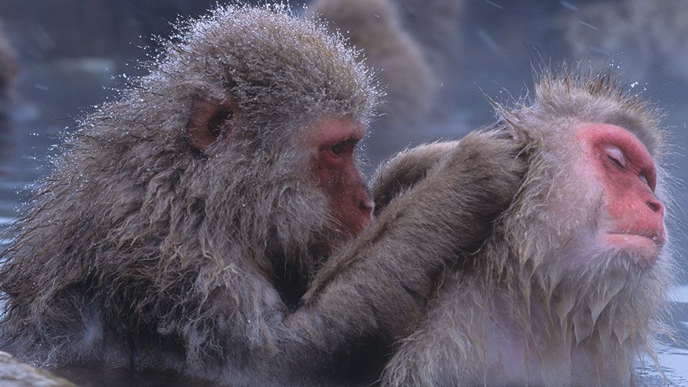 Sometimes animal grooming behaviours closely resemble our own. These snow monkeys are taking a bath in the hot springs of Japan (Science Photo Library)