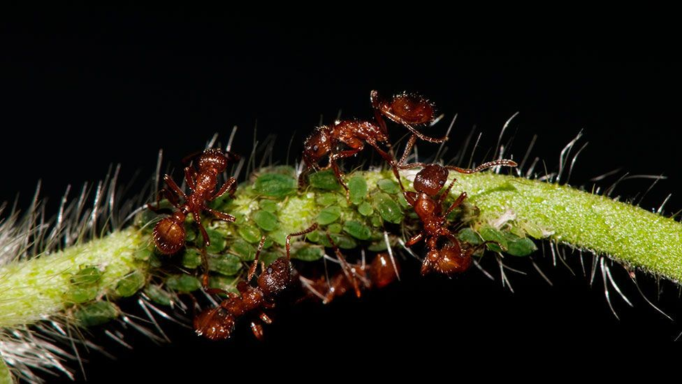 Red ant colonies can quickly harbour infection – but they have ways of dealing with the problem (Science Photo Library)
