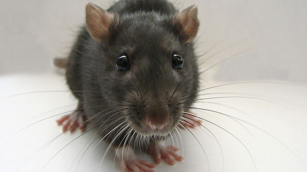 A rat can mentally replay a route around a maze 20 times faster when sleeping than it can when it's awake (Thinkstock)
