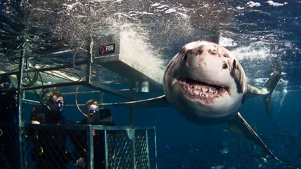 Shark attack victim to cage diver