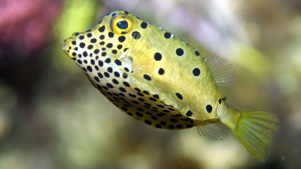 The boxfish's plate-like scales are another design copied by car manufacturers… (Wikimedia Commons)
