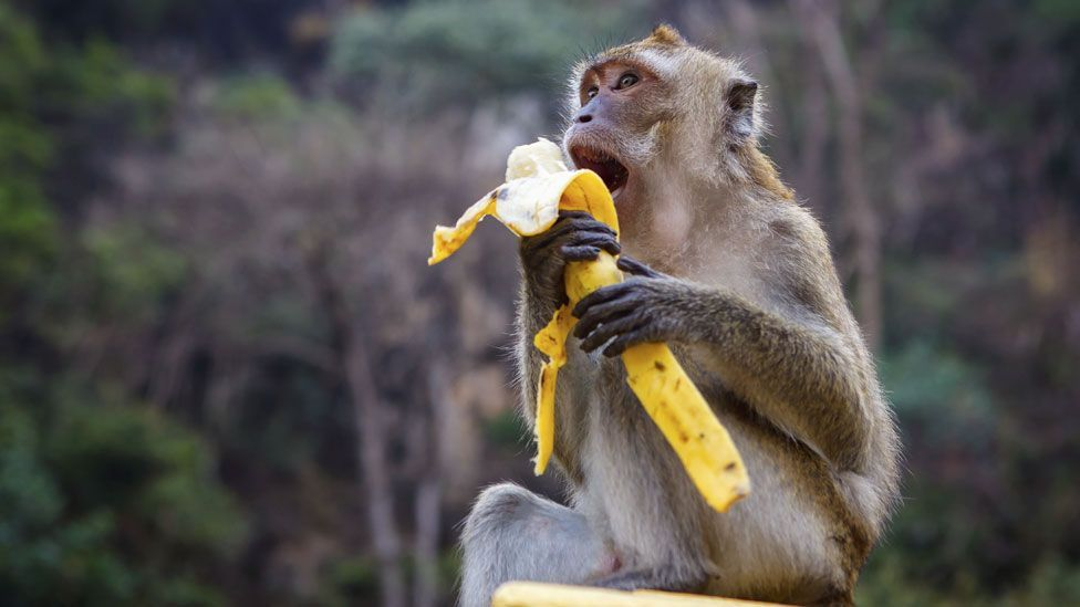 The Cavendish banana - loved by monkeys and humans everywhere (Thinkstock)