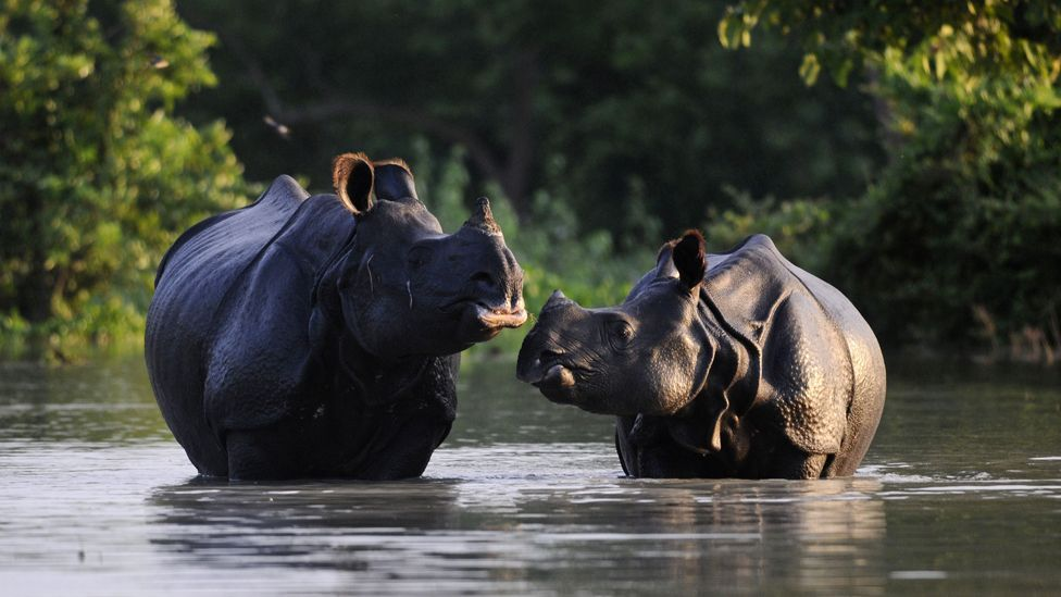 A one-horned rhinoceros and its calf stand in flood waters in the Pobitora sanctuary in Assam, north-eastern India. Heavy rains have flooded much of the park. (AFP/Getty Images)