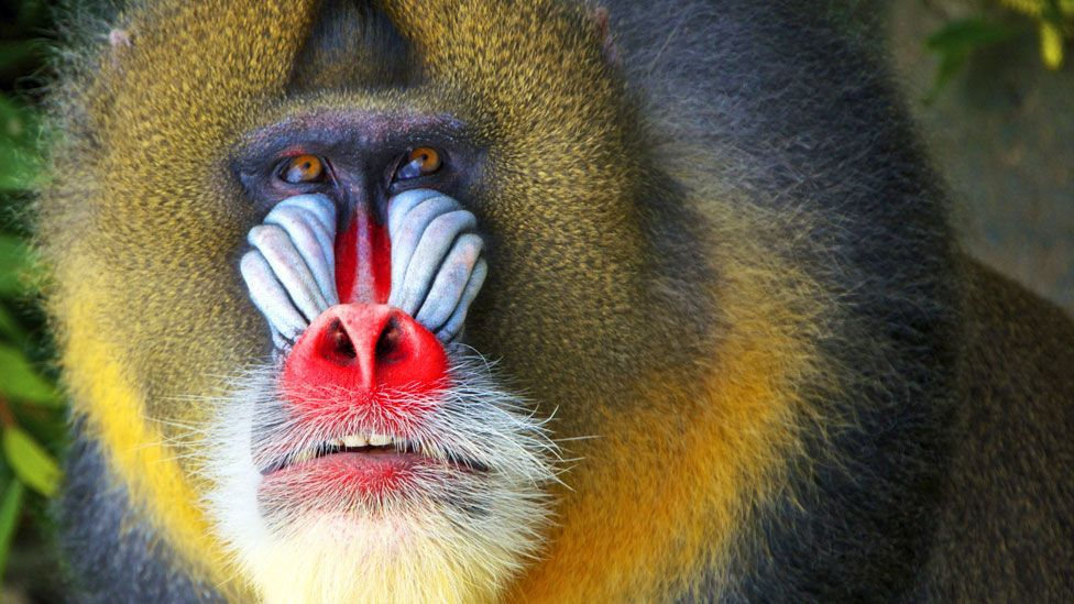 Red alert: you wouldn't want to mess with this mean-looking mandrill (SPL)