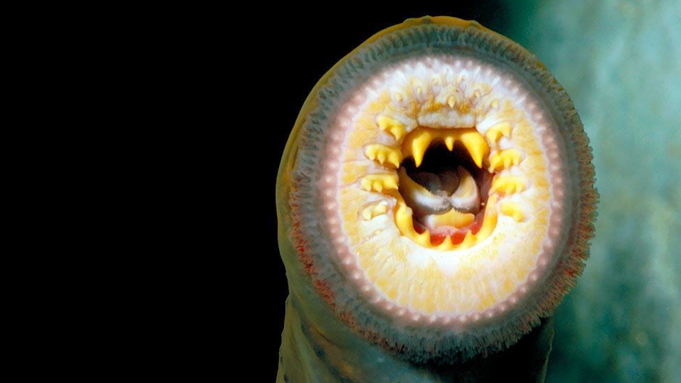 The sea lamprey, an invasive species in the Great Lakes, where it feeds on the blood of fish (SPL)