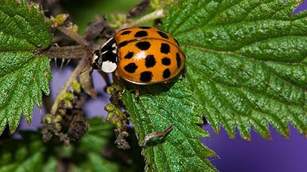 The voracious harlequin ladybird, causing problems in the UK (SPL)