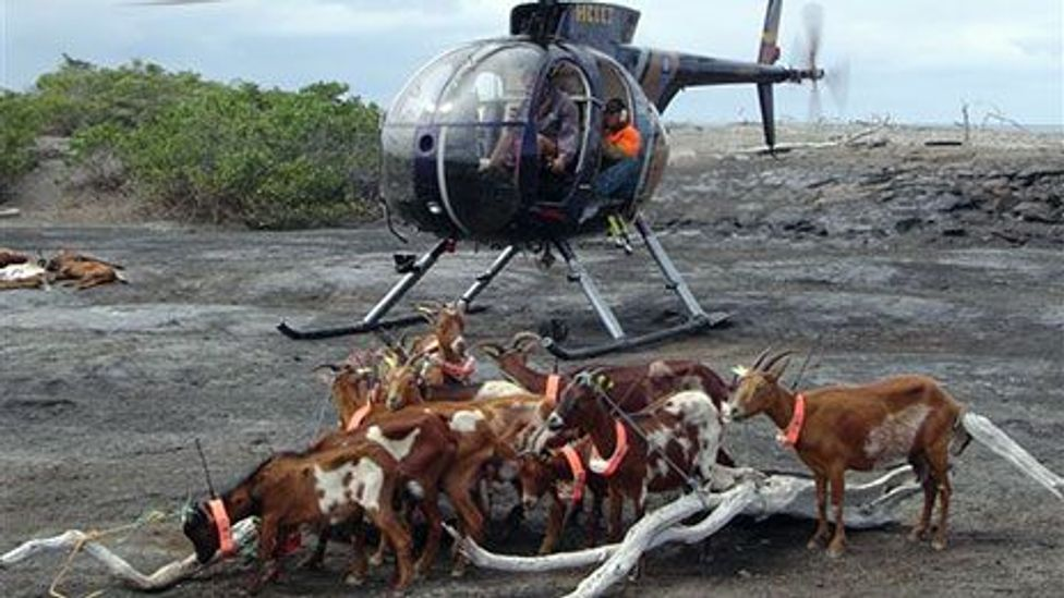 Judas goats tagged with radio collars 'betray' their invasive counterparts by allowing hunters to track herds (Karl Campbell)