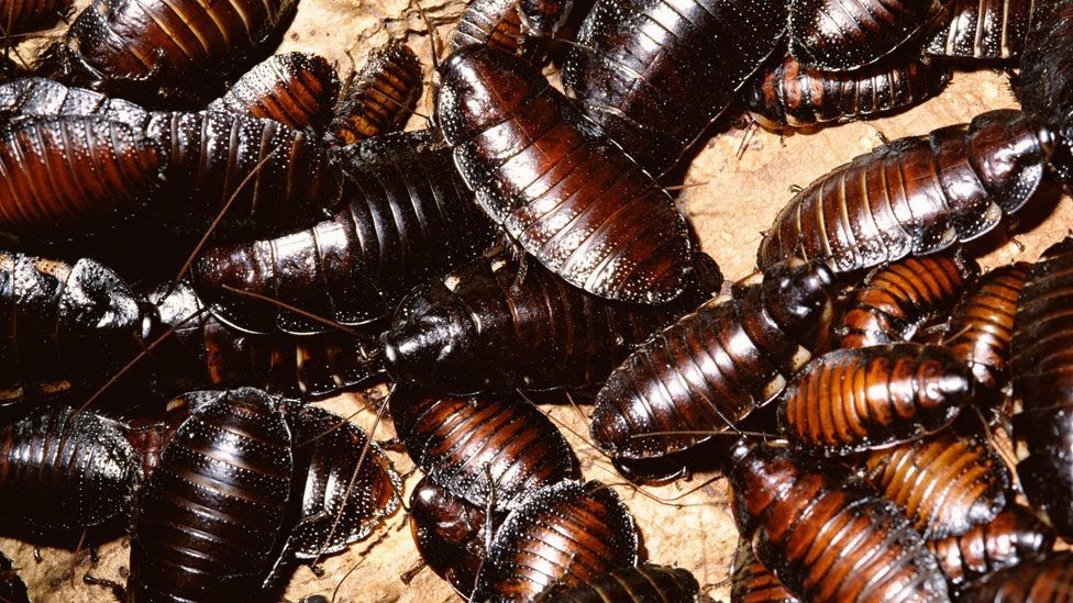 The hissing cockroach (Thinkstock)