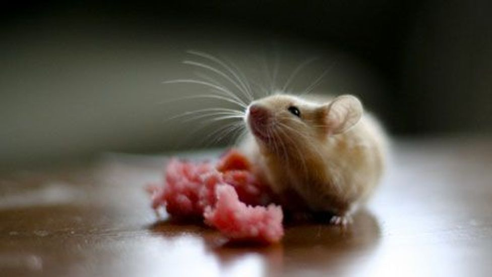 Mice engineered with a certain human gene showed they could learn quicker (Elena Gurzhiy/Flickr/CC BY 2.0)