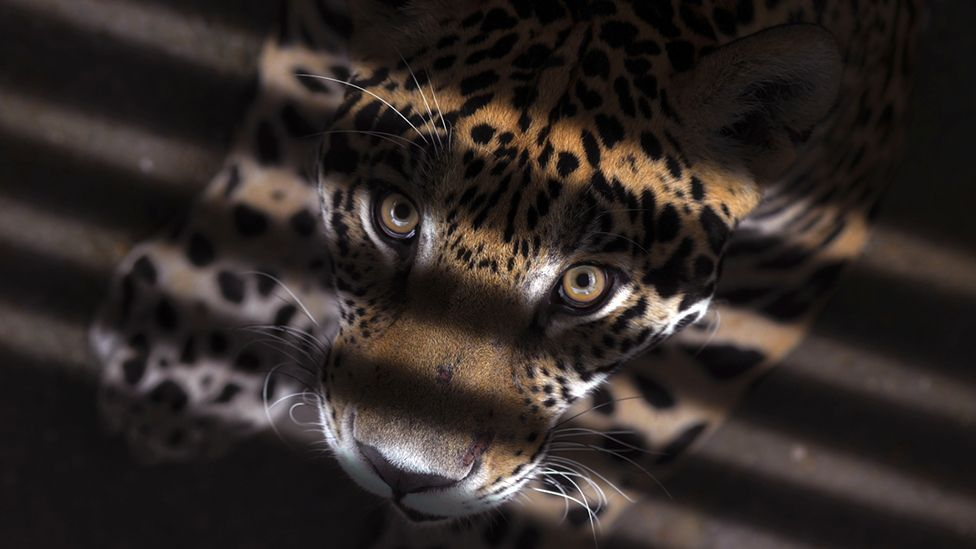 Predators like this leopard have eyes at the front to make it easier to discern prey (Thinkstock)